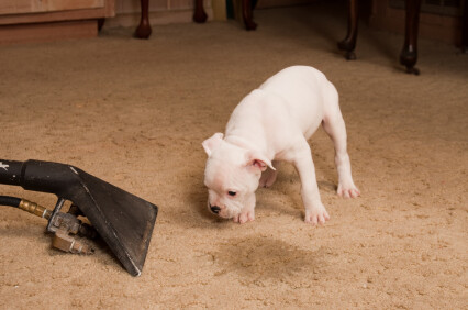 Carpet odor removal by Quality Swan Cleaning Services